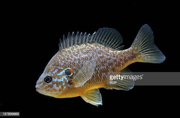 Pumpkinseed Pikeperch Sander LuciopercaLepomis Gibbosus Pumpkinseed Centrarchidae Freshwater Fish Bony Fish Fish