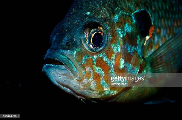 Pumpkinseed Sunfish Pumpkinseed sunfish Punkies Yellow sunfish Lepomis gibbosus North america america USA Florida