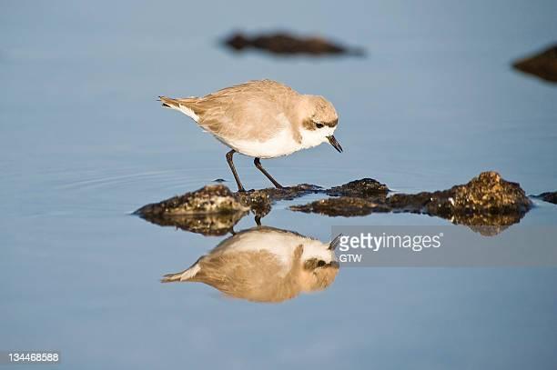 puna plover (charadrius alticola), laguna de chaxa, atacama desert, antofagasta region, chile, south america - vista lateral stock pictures, royalty-free photos & images