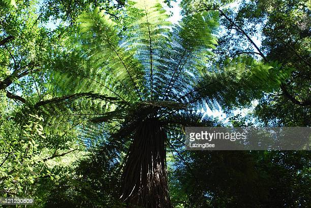 Punga Tree Fern Canopy, New Zealand