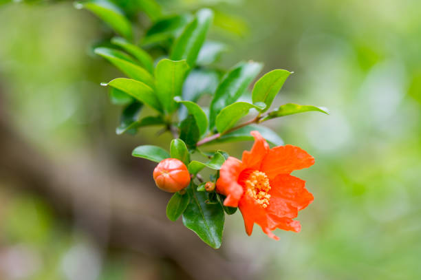 punica granatum flowers - pomegranate tree stock photos and pictures