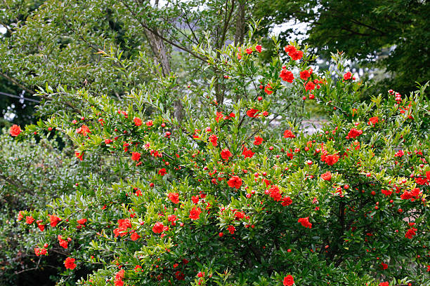punica granatum - pomegranate tree stock photos and pictures