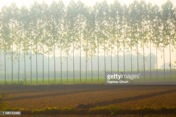 punjab village road with row of eucalyptus trees - chandigarh stock pictures, royalty-free photos & images