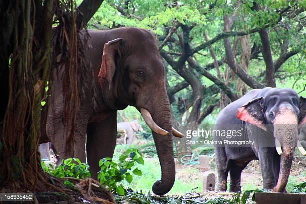 punnathur kotta aka aanakotta - kerala elephants stock pictures, royalty-free photos & images