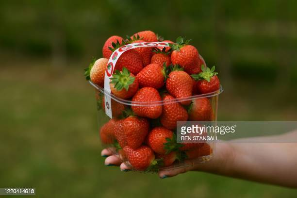 A punnet of strawberries is pictured as members of the public pick strawberries at Lower Ladysden Farm in Kent southeast England on June 16 2020...