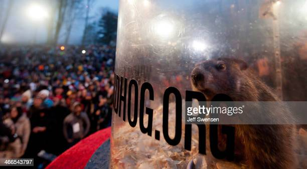 Punxsutawney Phil relaxes in his cage after he saw his shadow predicting six more weeks of winter during 128th annual Groundhog Day festivities on...