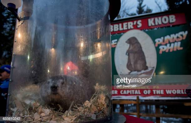 Punxsutawney Phil saw his shadow predicting six more weeks of winter during 131st annual Groundhog Day festivities on February 2 2017 in Punxsutawney...