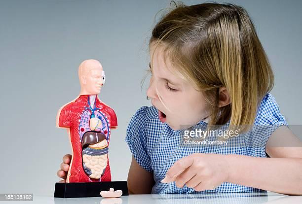 élève regarder modèle de l'anatomie humaine de - partie du corps humain photos et images de collection