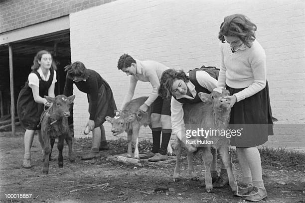 Pupils looking after calves on the school farm at Bedales Boarding School in Steep Hampshire January 1941 Original publication Picture Post 403...