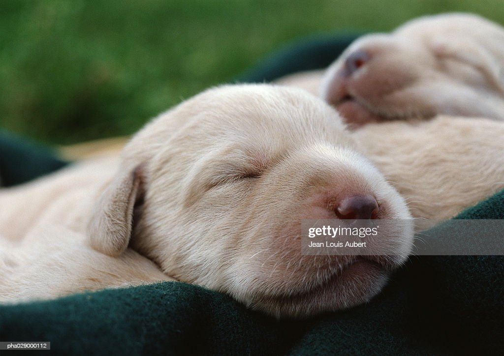Puppies' faces, eyes closed, close-up. : Stockfoto