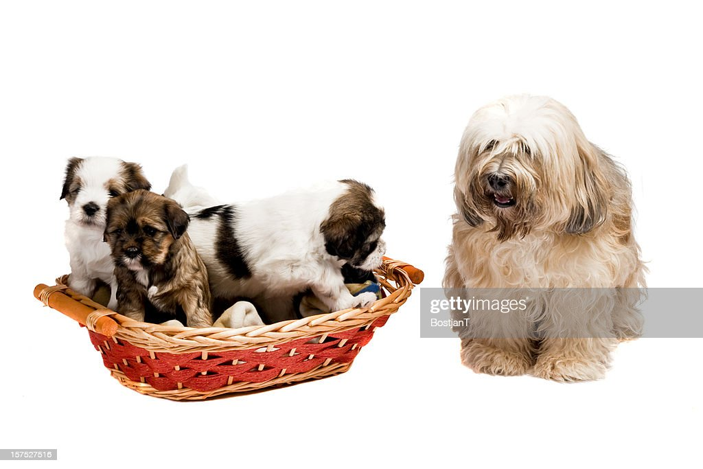 Puppies in the basket with their mother next to them. : Stock Photo
