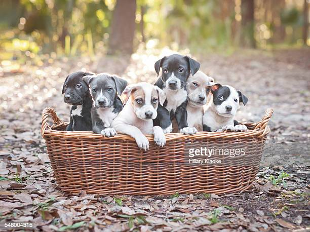 puppies in wooden basket - puppy stock pictures, royalty-free photos & images