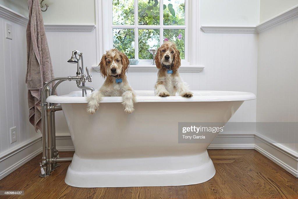 Puppies inside bathtub : Foto de stock