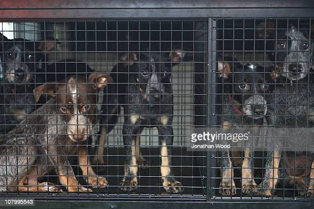 Puppies look out of a van as they are evacuated from the RSPCA shelter at Fairfield on January 12 2011 in Brisbane Australia Ten people so far have...