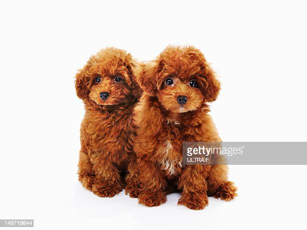 puppies of miniature poodle - miniature poodle stock photos and pictures