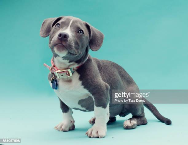 Puppies on blue backdrop pose cute