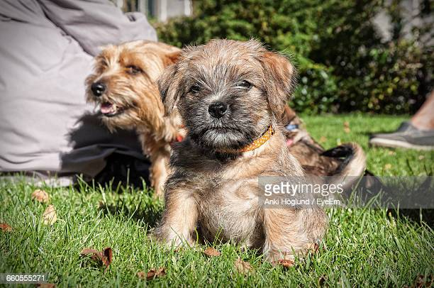 puppies on grassy field - norfolk terrier photos et images de collection