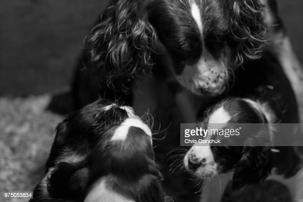 puppies - english springer spaniel stock pictures, royalty-free photos & images