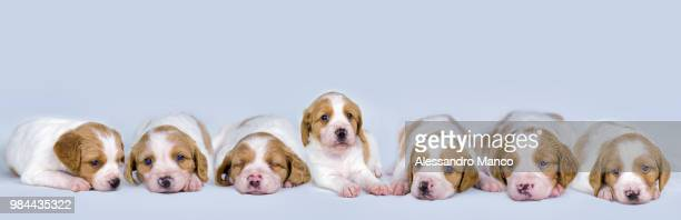 puppies - brittany spaniel stock pictures, royalty-free photos & images