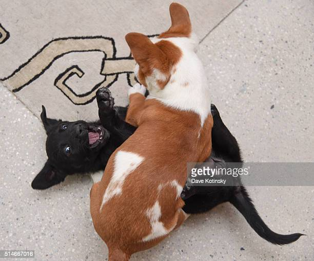 Puppies play at the Animal Storm Squad attends the AOL Build Speakers Series at AOL Studios In New York on March 10 2016 in New York City