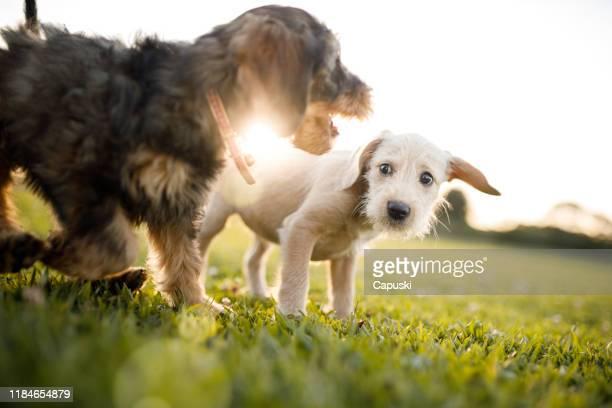公園で遊ぶ子犬 - 2匹 ストックフォトと画像