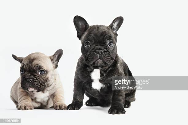 puppies seated together on a white background - puppies - fotografias e filmes do acervo