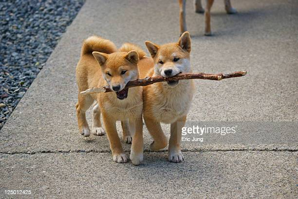Puppies sharing stick