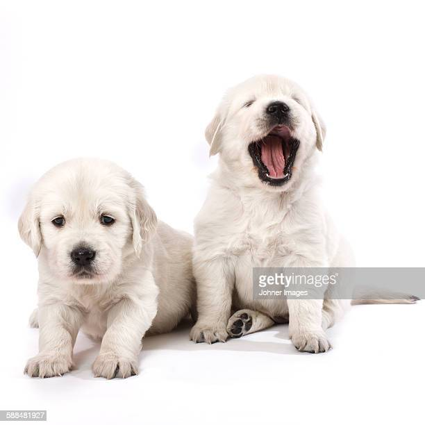 Puppies, studio shot
