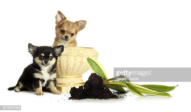 Puppies, vase and torn out flower