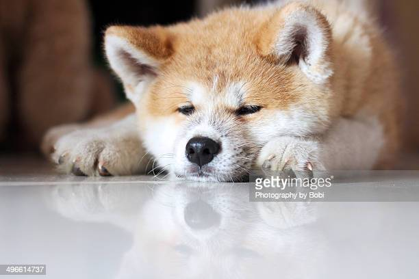 Puppy Akita sleeping on the floor
