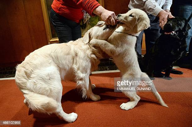 Puppy and adult Golden Retriver pose as the 2013 most popular dog breeds in the US are unveiled to the press at the American Kennel Club in New York,...