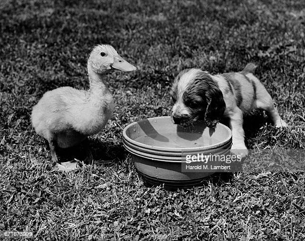 puppy and duck drinking water from tub - {{ collectponotification.cta }} fotografías e imágenes de stock