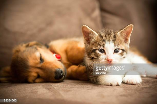 puppy and kitten - dog and cat stock photos and pictures