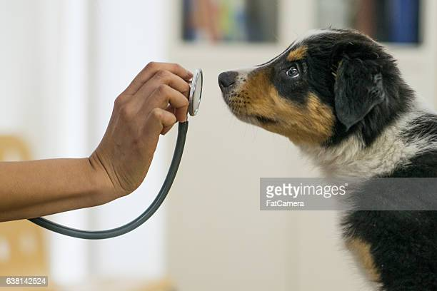 puppy at the vets office - animal hospital stock pictures, royalty-free photos & images