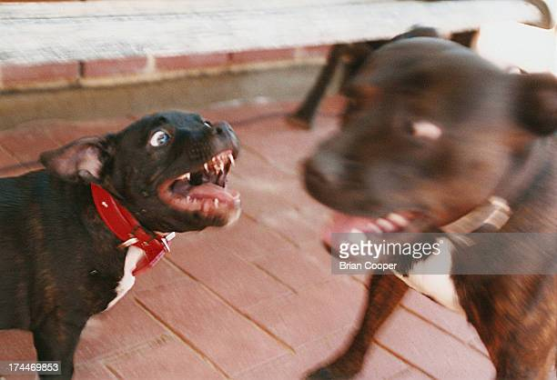 CONTENT] A puppy bares its teeth at an adult dog