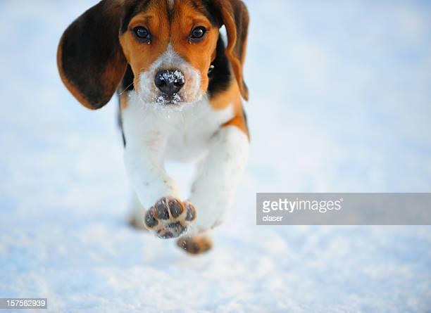 Puppy beagle running on snow