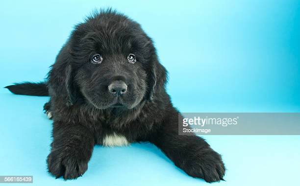puppy blues - newfoundland dog stock photos and pictures