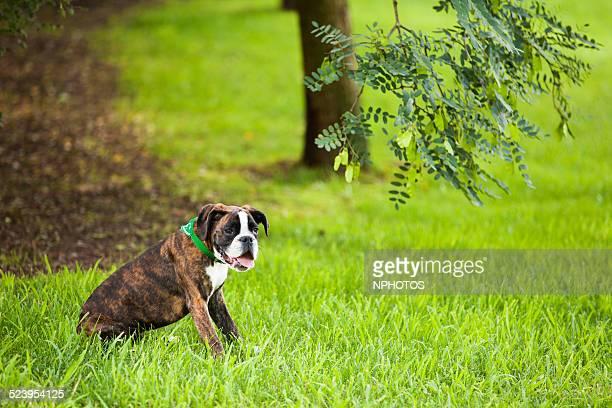 puppy boxer dog - sentar se imagens e fotografias de stock