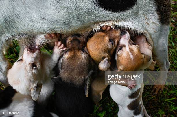 puppy breastfeeding - medium group of animals stock pictures, royalty-free photos & images