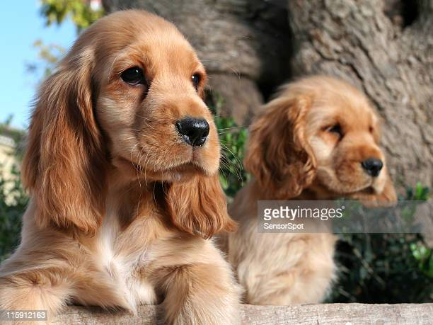 puppy brothers - cocker spaniel stock photos and pictures