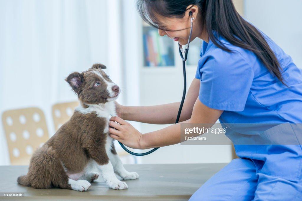 Puppy Checkup : Stock Photo
