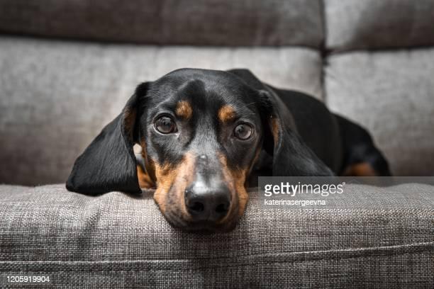 cachorrinho dachshund olha para a câmera - filhote de cachorro - fotografias e filmes do acervo