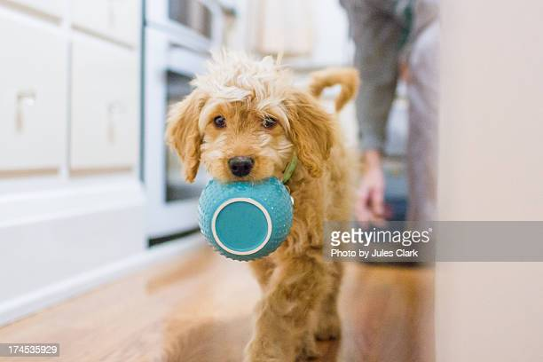 puppy dinner time - goldendoodle stock-fotos und bilder
