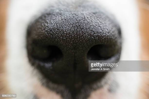 puppy dog nose - nose stock pictures, royalty-free photos & images