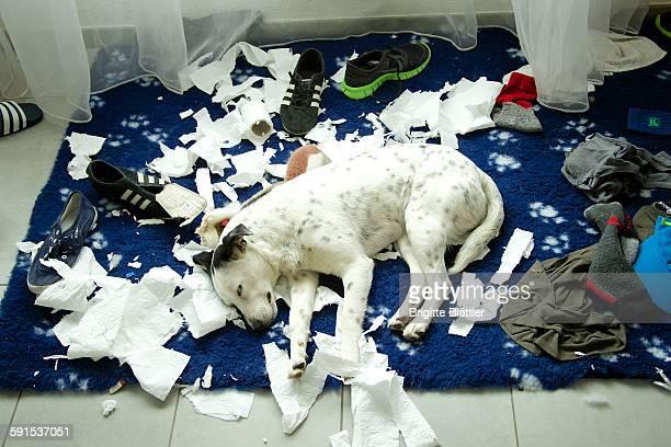 puppy dog sleeping - destruição imagens e fotografias de stock