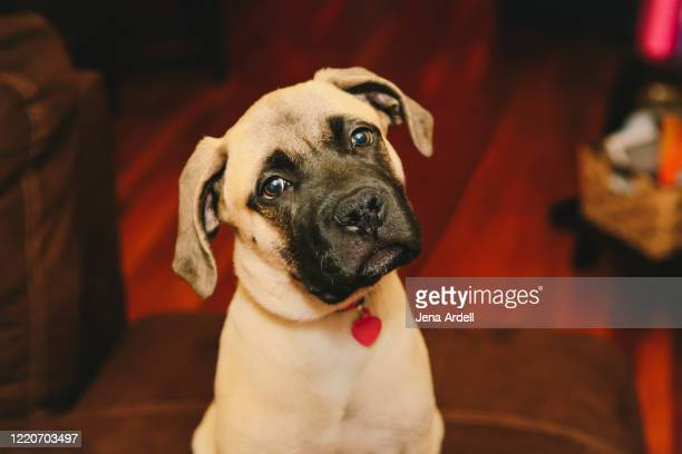 puppy dog tilting head, bull mastiff puppy, curious dog - 首をかしげる ストックフォトと画像