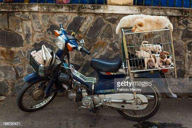 CONTENT] Puppy dogs piling up in a cage on a scooter to be sold in the streets of Ho Chi Minh City