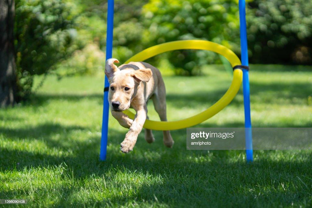 夏の屋外で敏捷性フープを通してジャンプ中の子犬 : ストックフォト