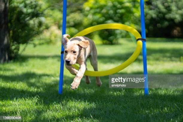 夏の屋外で敏捷性フープを通してジャンプ中の子犬 - training grounds ストックフォトと画像