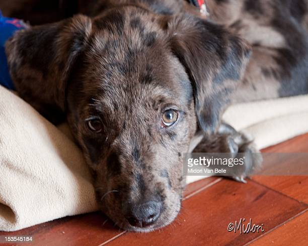 puppy eyes - catahoula leopard dog stock photos and pictures